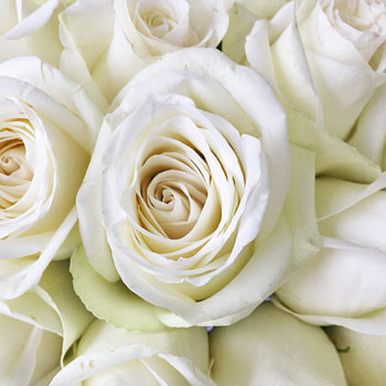 High and Pure Roses, white